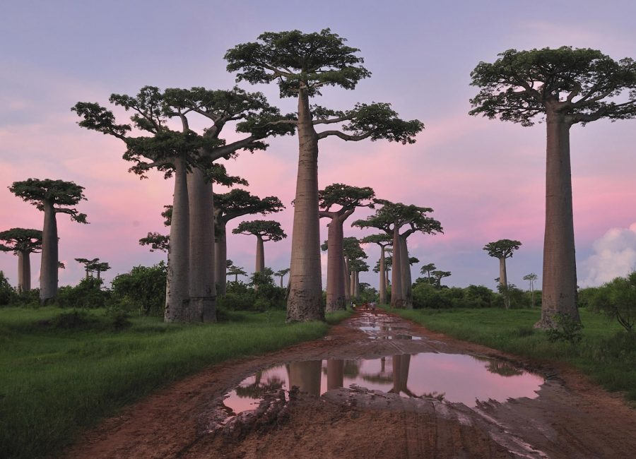 Grandidier's Baobab (Adansonia grandidieri) forest lining road at sunset near Morondava, Madagascar