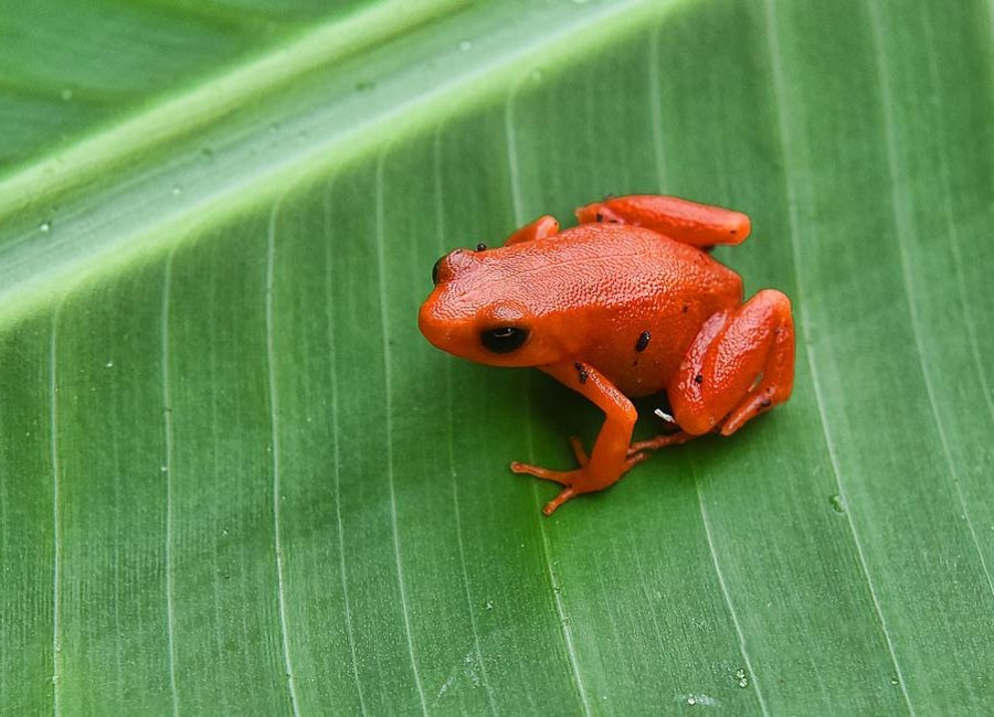 Golden mantella (Mantella aurantiaca) frog, Kirindy National Park, Madagascar