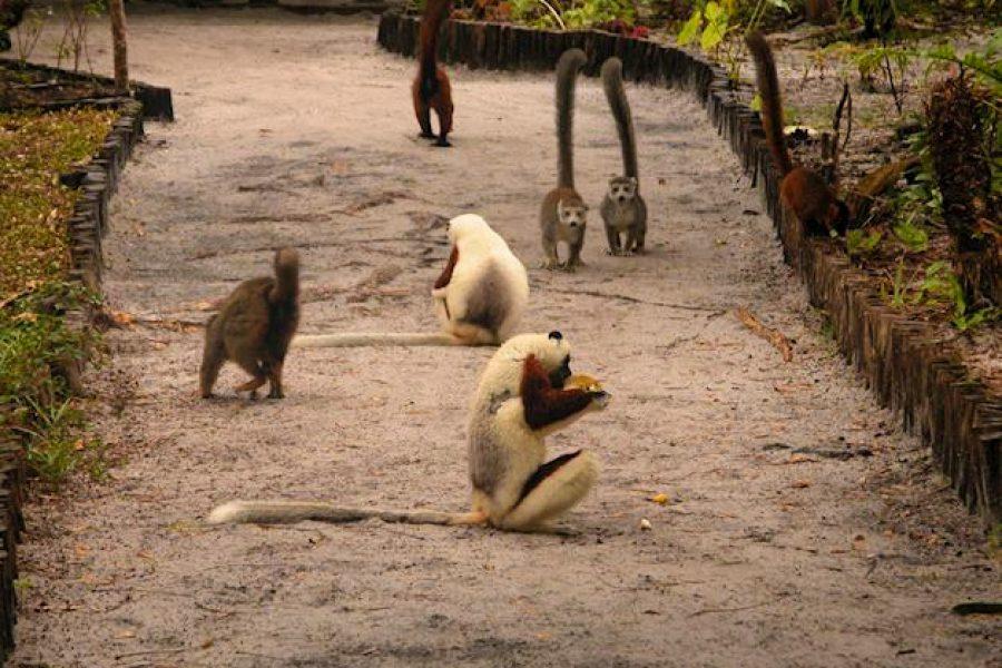 189780-lemurs-at-le-palmarium-pangalanes