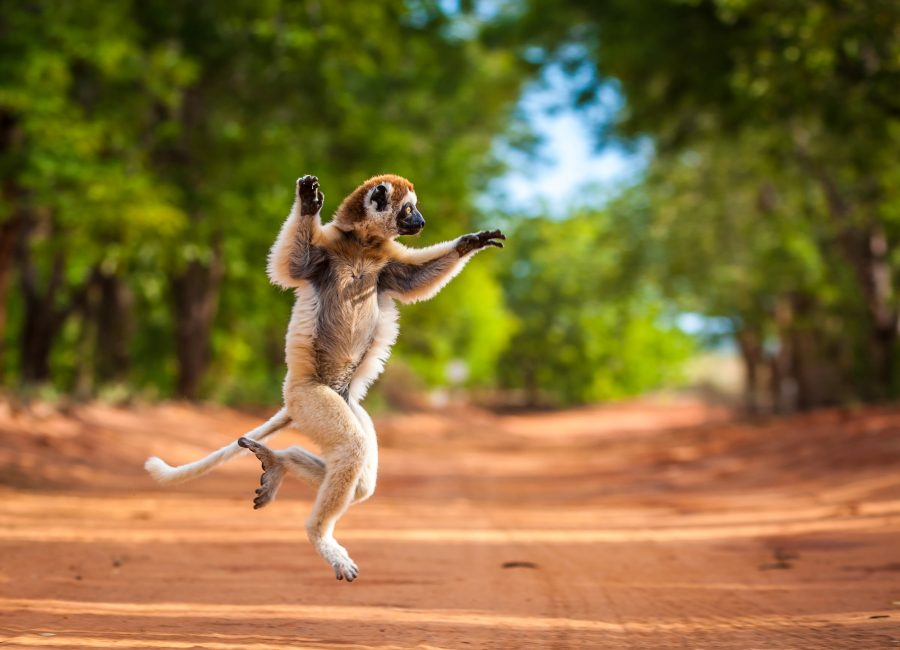 PIC BY SHANNON WILD / CATERS NEWS - (PICTURED the Safika jumps along the road ) - This lemur is not at all shy - as this series of photographs shows it dancing for the camera. The Verreauxs Sifaka, otherwise known as Dancing Sifaka, who was caught strutting its stuff in Madagascar, has definitely learnt a lesson or two from King Julian - from the 2005 film Madagascar. Raising both of its arms and lunging from side to side, this lemur definitely likes to move it, move it. This amazing collection of photographs was captured by Shannon Wild, an Australian Wildlife Cinematographer. SEE CATERS COPY