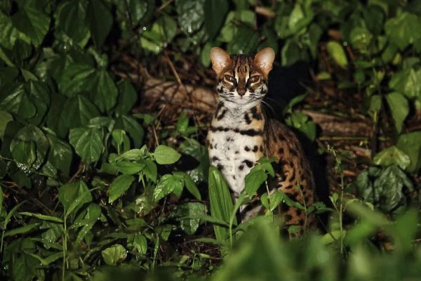 Clouded-Leopard-Danum-Valley-Malaysian-Borneo