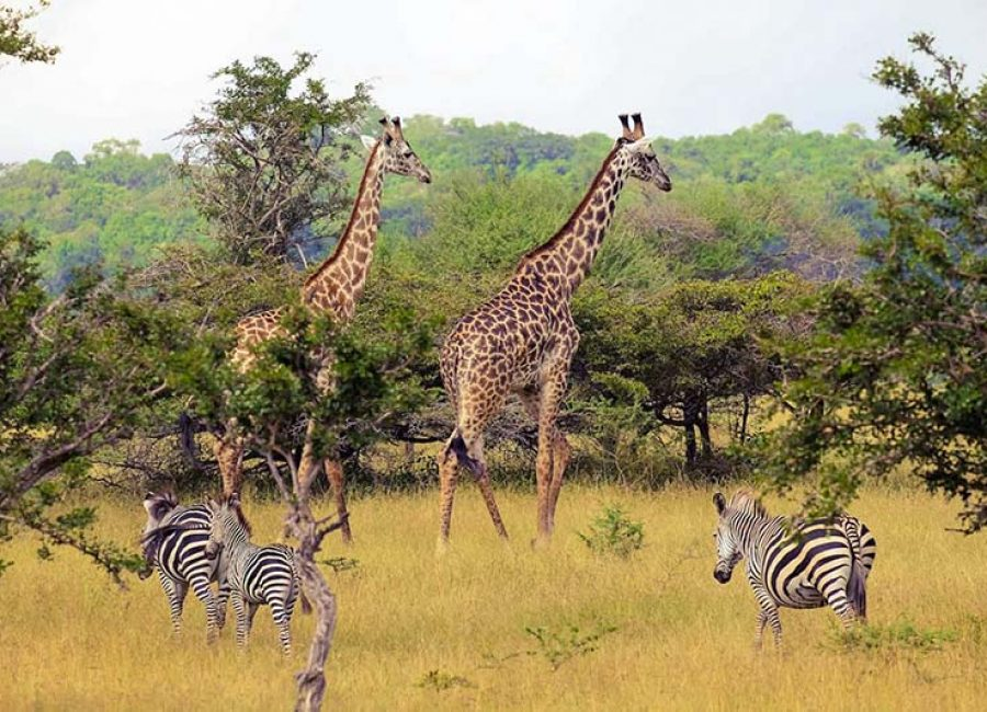 Giraffes-in-Selous-1