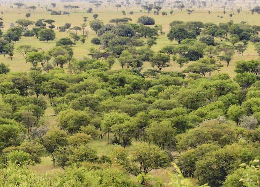 Miombo Woodland