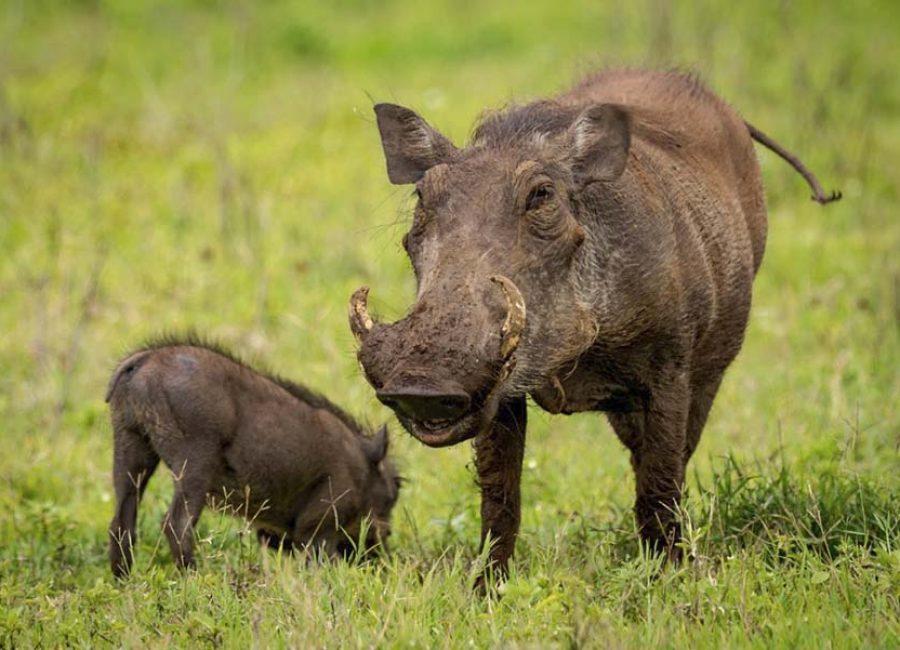 Tanzania_NgoroNgoro-crater_warthog