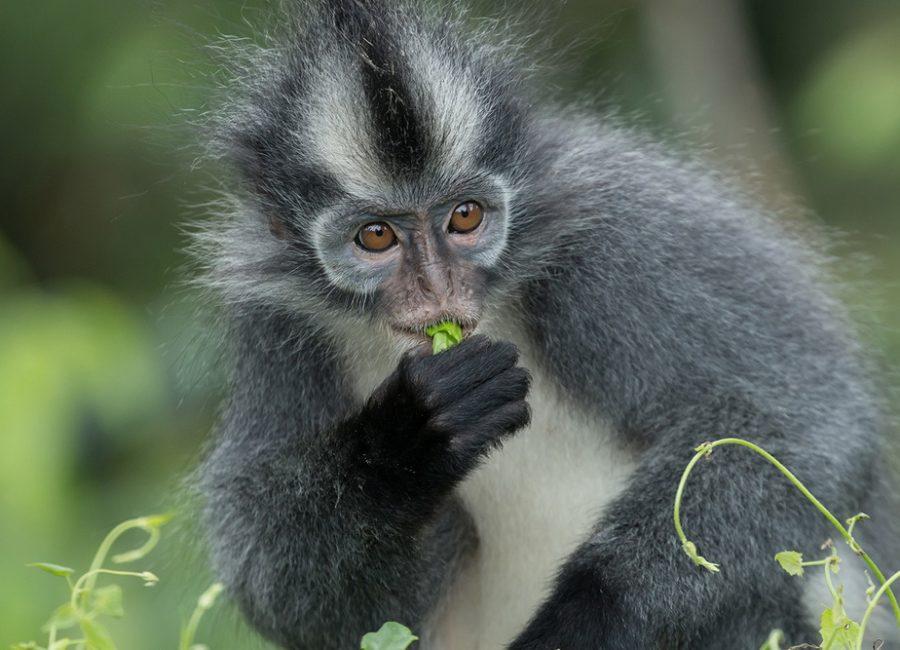 monkey-bukit-lawang