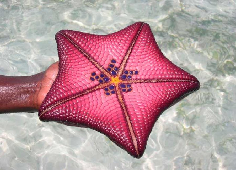 morskaya-zvezda
