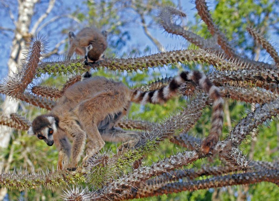 stock-photo-ring-tailed-lemur-lemur-catta-also-known-as-ring-tailed-maki-in-its-natural-habitat-on-1297229296